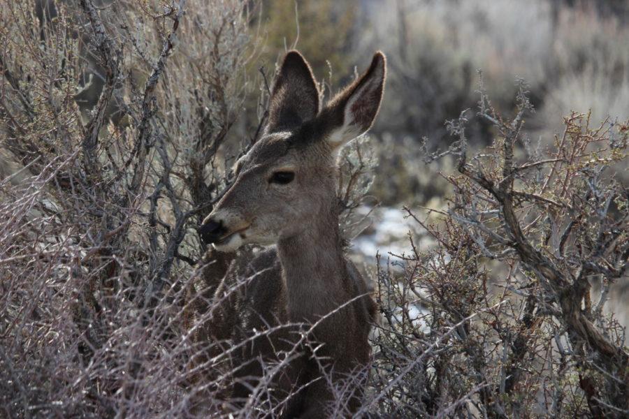 Mule+deer