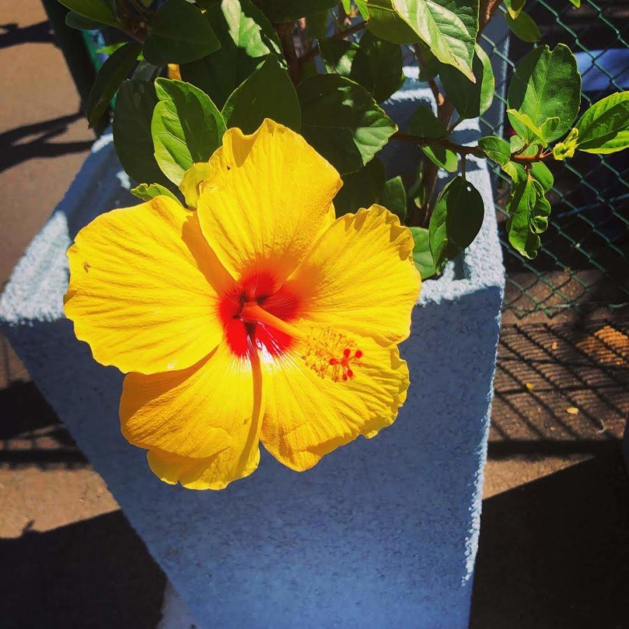 Yellow+hibiscus+hawaiian+flower