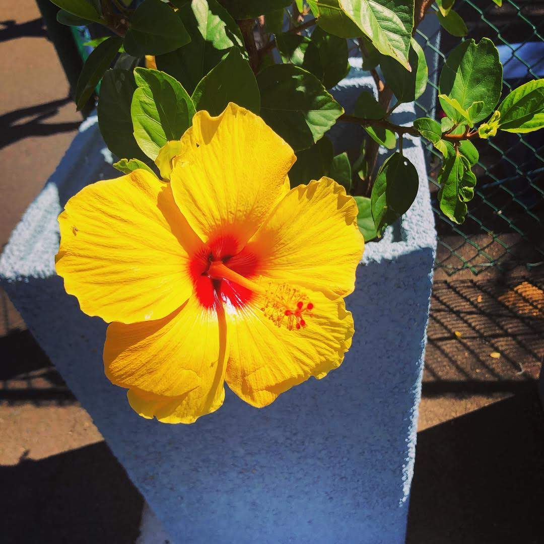 Yellow hibiscus hawaiian flower