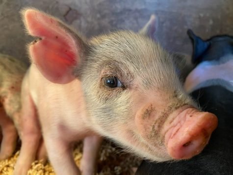 2 week old baby piglet born at the FFA Farm.